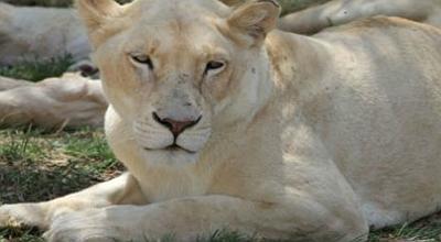 lion-park