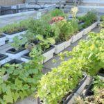 Rooftop Gardening In The Inner City