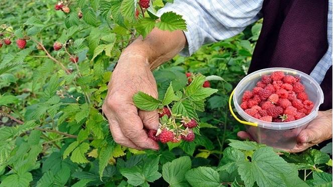 Raspberry Festival